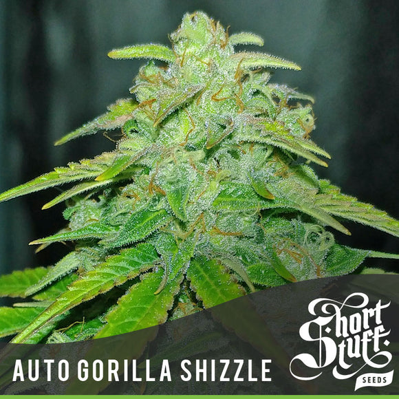 Short Stuff AUTO Gorilla Shizzle Feminised Seeds