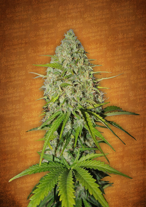 Fast Buds Grapefruit AUTO Feminised Seeds