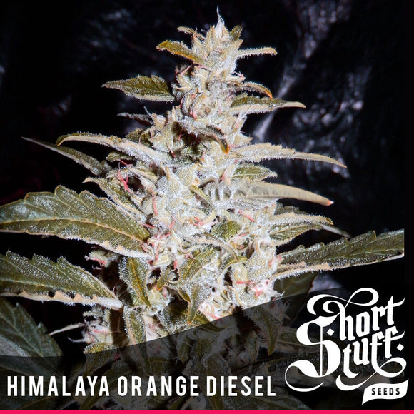 Short Stuff Himalaya Orange Diesel AUTO Feminised Seeds