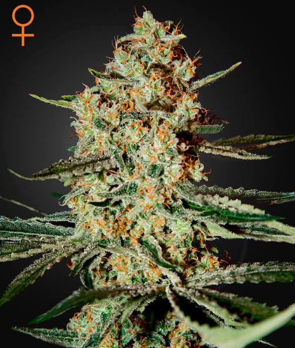 Greenhouse Seed Co. Himilaya Gold Feminised Seeds