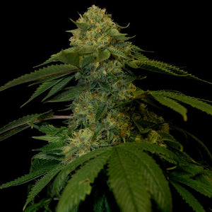 DNA Genetics Holy Grail Kush Feminised Seeds