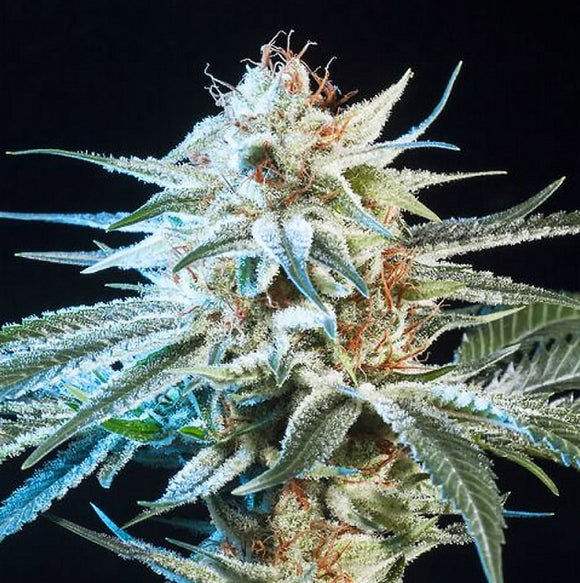 Elemental Seeds Honey Bananas Feminised Seeds