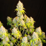 Mosca Seeds Indiana Bubblegum S1 Feminised Seeds
