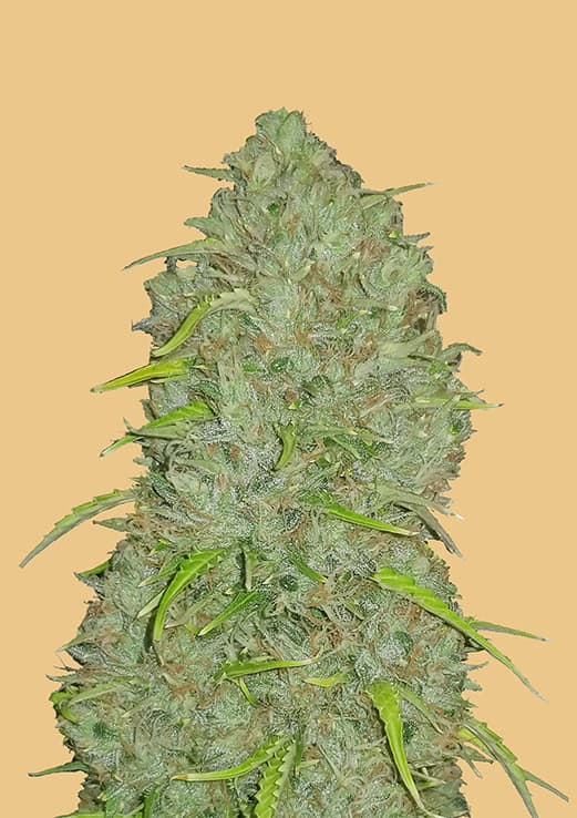 Fast Buds Jack Herer AUTO Feminised Seeds