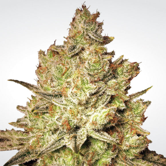 Paradise Seeds Jacky White Feminised Cannabis Seeds