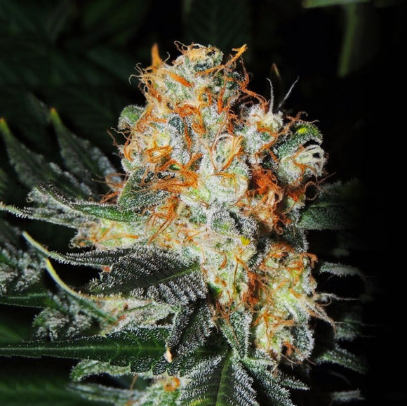Cali Kush Farms Jaffa Cake Feminised Seeds