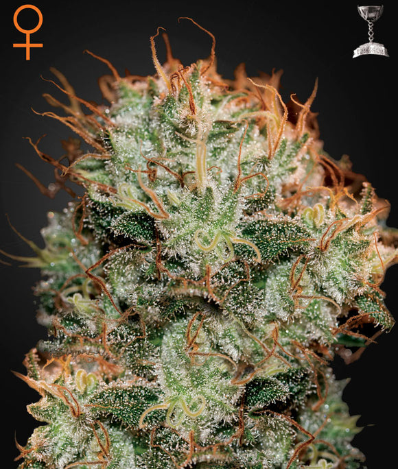 Greenhouse Seed Co. Kaia Kush Feminised Seeds