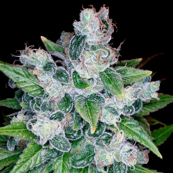 DNA Genetics Kandy Kush Feminised Seeds