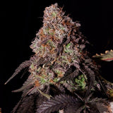 Katsu Bluebird Seeds Key Lime Kush Feminised Seeds