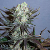 Little Chief Collabs Killer Glue Limited Edition Feminised Seeds