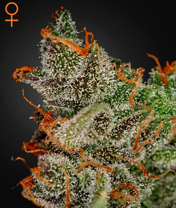 Greenhouse Seed Co. King's Kush Feminised Seeds