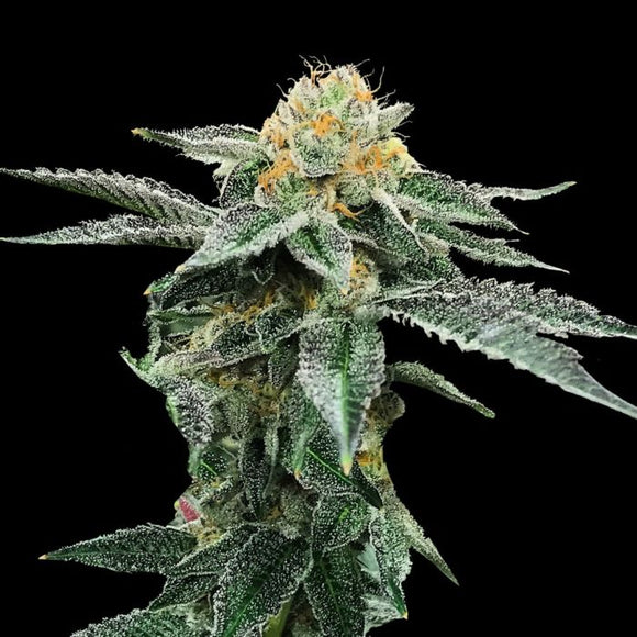 DNA Genetics Kosher Cookies Feminised Seeds