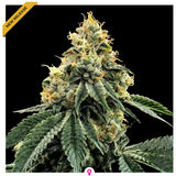 DNA Genetics Kosher Dawg Feminised Seeds