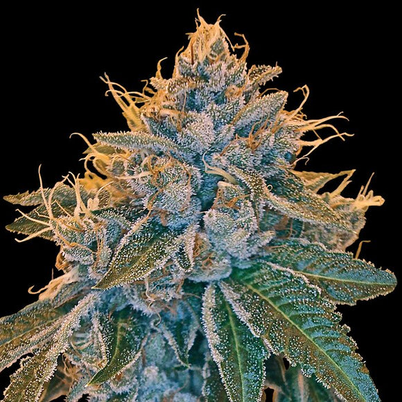 DNA Genetics Kosher Kush Feminised Seeds