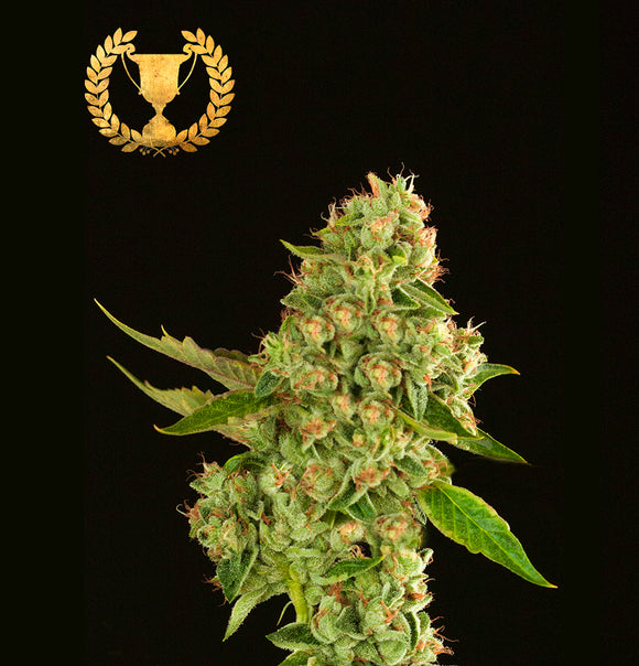 Devil's Harvest Kuchi Feminised Seeds
