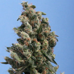 T.H. Seeds Kushage Feminised Seeds