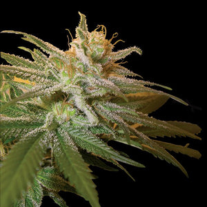 DNA Genetics Kushberry Feminised Seeds