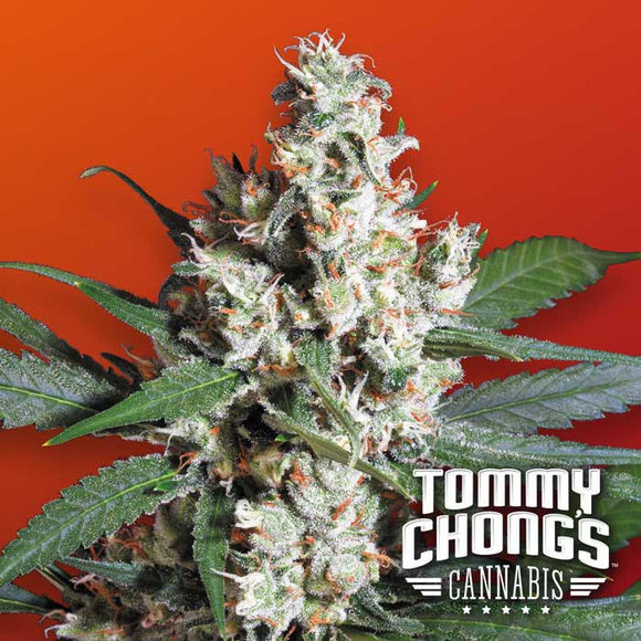 Paradise Seeds (Chong's Choice) LA Amnesia Feminised Cannabis Seeds
