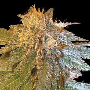 DNA Genetics LA Confidential Feminised Seeds