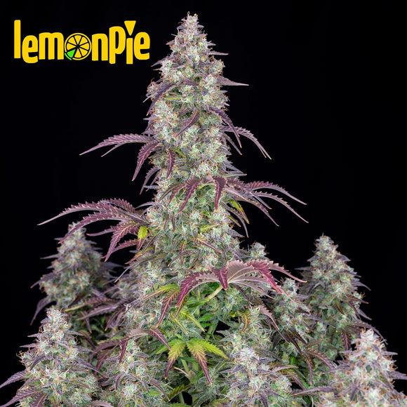Fast Buds Lemon Pie AUTO Feminised Seeds