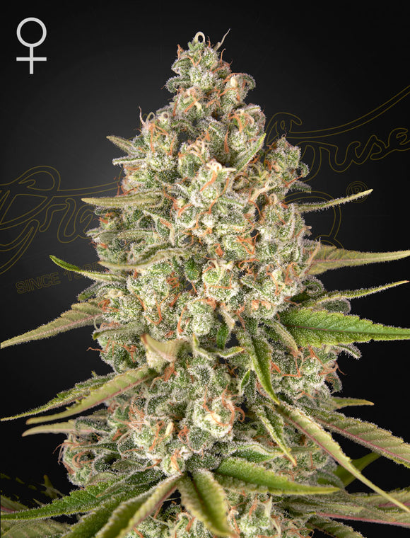 Greenhouse Seed Co. Lost Pearl Feminised Cannabis Seeds