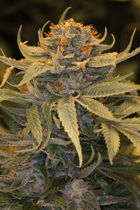 Humboldt Lost Coast OG Feminised Seeds