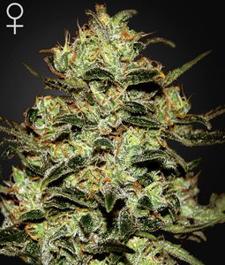 Moby Dick Greenhouse Seed Co  Lemon Skunk Feminised Seeds