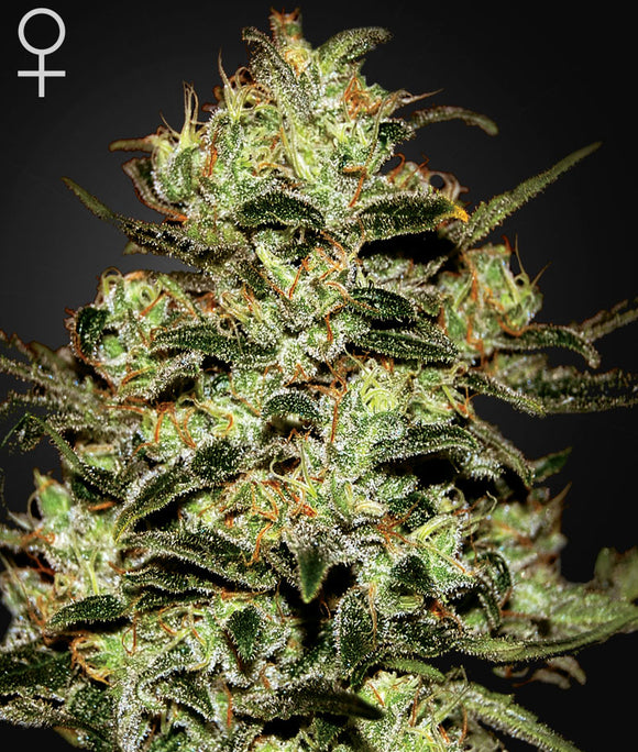 Moby Dick Greenhouse Seed Co. Lemon Skunk Feminised Seeds
