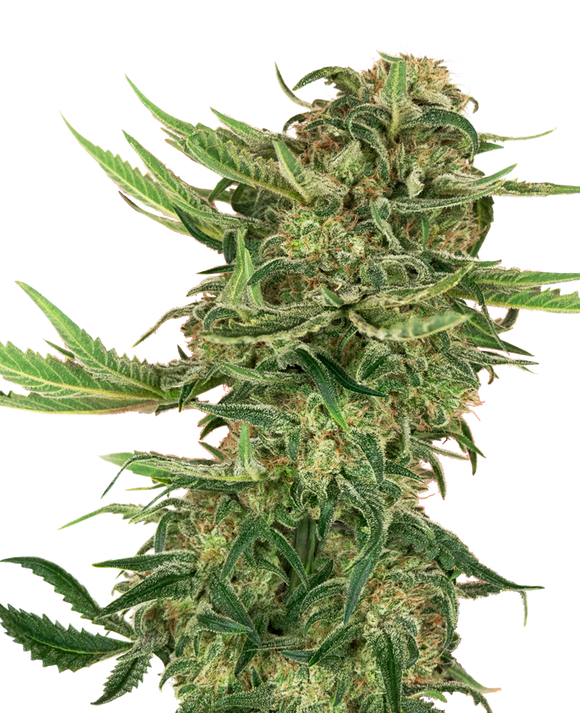 Sensi Seeds Research N13 Kush Feminised Cannabis Seeds