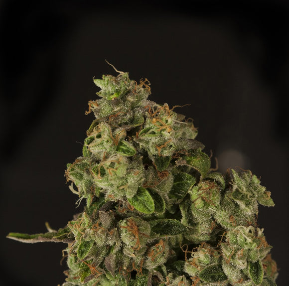 Devil's Harvest OG Reekn Feminised Seeds