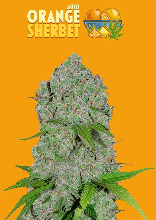 Fast Buds Orange Sherbet AUTO Feminised Seeds