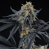 Perfect Tree Peach Sherbert OG Feminised Cannabis Seeds
