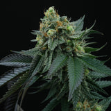 Perfect Tree Lime OZZ Feminised Cannabis Seeds