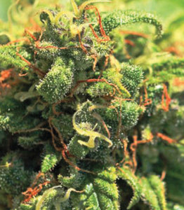 Humboldt Seed Co. Pineapple Upside Down Cake Feminised Seeds