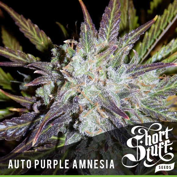 Short Stuff AUTO Purple Amnesia Feminised Seeds