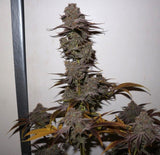 Pheno Finder Purple Strawberry Sherbert Feminised Seeds