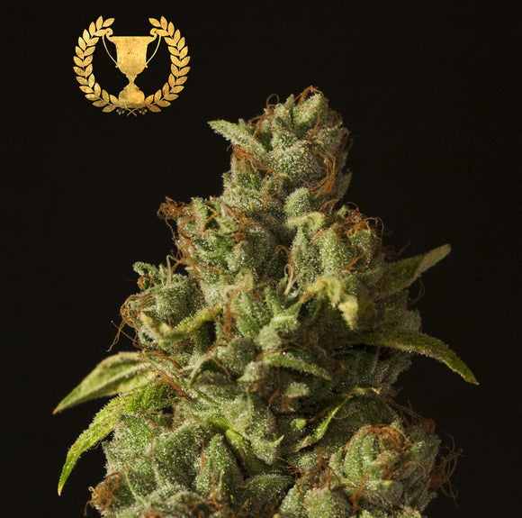 Devil's Harvest Rollex OG Kush Feminised Seeds