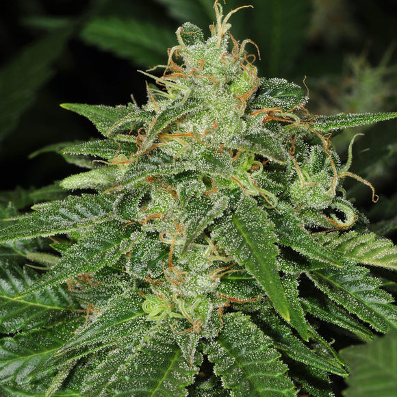 T.H. Seeds S.A.G.E Feminised Seeds