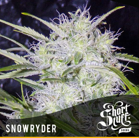 Short Stuff Snowryder Autoflowering Feminised Seeds