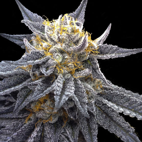 Crockett Family Farms SSOG Feminised Seeds