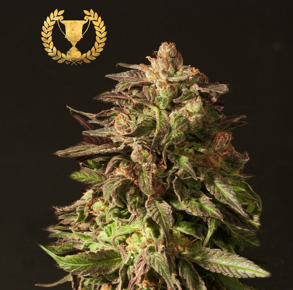 Devil's Harvest Shoreline Feminised Seeds