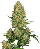 Sensi Seeds Skunk #1 AUTO Feminised Seeds