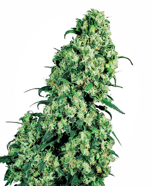 Sensi Seeds Skunk #1 Feminised Seeds