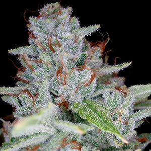 DNA Genetics Skywalker Kush Feminised Seeds