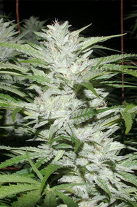 Digital Genetics Snowfire ISIS Kush Regular Seeds