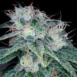 DNA Genetics Sour Diesel Feminised Seeds