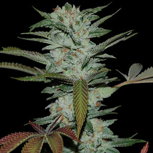 DNA Genetics Sour Kush Feminised Seeds