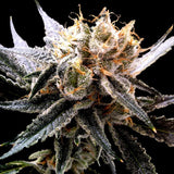 DNA Genetics Sour Tangie Kush Feminised Seeds