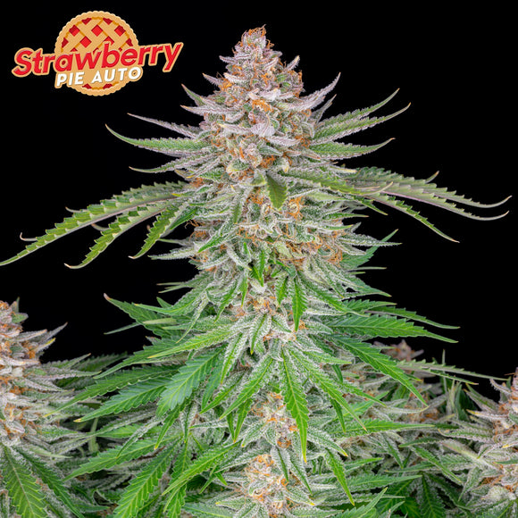 Fast Buds Strawberry Pie AUTO Feminised Seeds