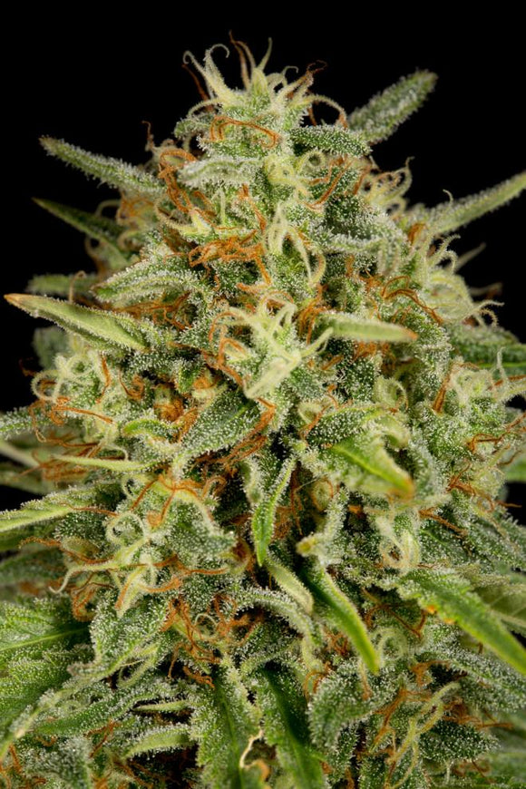 Dinafem Strawberry Amnesia Feminised Seeds